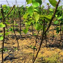 泰安梨樹苗報價及單價圖片