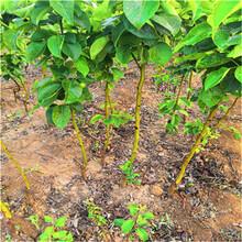 泰安梨樹苗報價圖片
