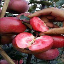 晚熟梨樹苗售價圖片