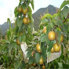 梨樹價格_3年梨樹苗單價圖片