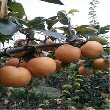早熟梨樹苗單價圖片