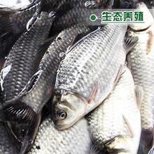 鯽魚7兩以上規格湖北大量供應圖片