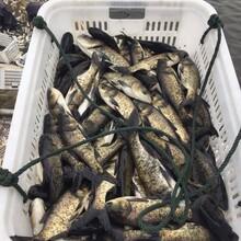 2斤左右胖頭花鰱魚苗湖北汈汊湖大量供應圖片