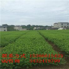贵州核桃苗栽种前景,贵州核桃苗栽种价值图片