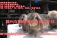 鹏程兔业,行业领先,品质可靠!中国公羊兔品种唯一驯化、改良、保护基地!