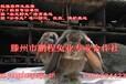 央视农业频道推荐种兔,纯种公羊兔种兔,生长快,抗病力强,饲料报酬高