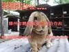 廣西公羊兔肉兔種兔,品種優良,繁殖率高,出欄快,飼養報酬高