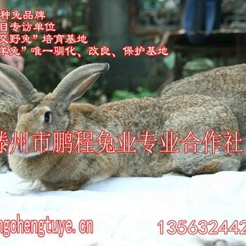 商品兔、肉兔倍投法前景空间仍然大,养兔技术很重要