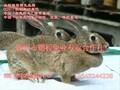比利时兔肉兔养殖效益怎么样,好繁殖吗?有什么补贴政策??图片