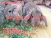 養肉兔什么品種好