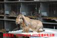 廣西公羊兔生長快速,巨型兔