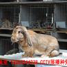 雲南(nan)公(gong)羊(yang)兔(tu)服務周到,巨型(xing)兔(tu)