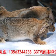 鹏程兔业兔子,南昌肉兔生长快速图片