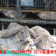 鹤壁肉兔30年培育改良图片