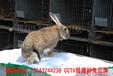 鵬程兔業菜兔,贛州肉兔信譽保證