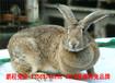 鵬程兔業家兔,南通肉兔出欄快