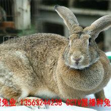 鹤壁肉兔品种优良图片