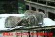 安陽肉兔耗料低,家兔