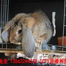 鹏程兔业巨型兔,石河子公羊兔售后保障图片