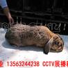 魯西(xi)南(nan)公(gong)羊(yang)兔(tu)30年(nian)精心培(pei)育(yu)種兔(tu),法(fa)國公(gong)羊(yang)兔(tu)