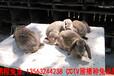 鵬程兔業菜兔,益陽肉兔品種優良
