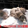 鵬程(cheng)兔(tu)業法(fa)國公(gong)羊(yang)兔(tu),內蒙古公(gong)羊(yang)兔(tu)30年(nian)精心培(pei)育(yu)種兔(tu)