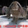 鵬程(cheng)兔(tu)業垂耳兔(tu),山(shan)西(xi)公(gong)羊(yang)兔(tu)質量可靠