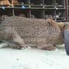山(shan)西(xi)公(gong)羊(yang)兔(tu)價格實惠