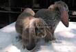 鹏程兔业垂耳兔,和田公羊兔优质服务