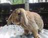 贛州肉兔量大從優,兔子