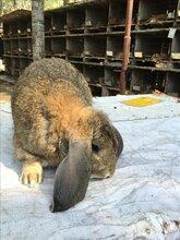 鹏程兔业家兔,衡水肉兔量大从优图片