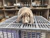 江蘇比利時兔種兔CCTV拍攝兔場