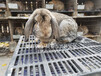 西北專業養兔場種兔品種優良,肉兔