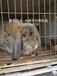 南昌兔子肉兔農廣天地專訪兔場,種兔