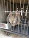 漢中比利時兔肉兔農廣天地專訪兔場,種兔