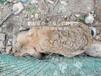 華中塞北兔種兔30年種兔培育,肉兔