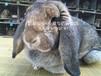 陜西垂耳兔種兔效益高