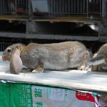 福建合同養兔公羊兔肉兔孫師傅35年種兔培育,家兔圖片