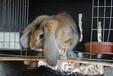 鵬程兔業兔子,麗江肉兔質量可靠
