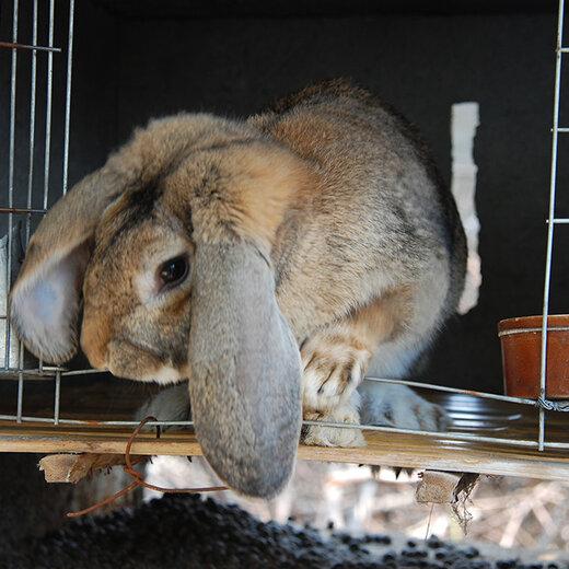 昭通肉兔效益高,菜兔