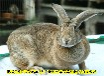 常德養兔回收肉兔場家直銷,種兔