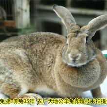 商丘養兔送大棚肉兔場家直銷圖片