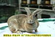 湘西養兔送大棚送籠具送飼料是真的嗎肉兔場家直銷