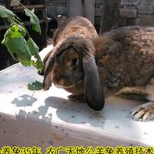 山东公羊兔鹏程兔业公羊兔孙师傅35年种兔培育图片
