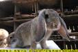 上海養兔回收肉兔繁殖率高,種兔