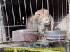 南昌法國公羊兔鵬程兔業公羊兔農廣天地拍攝種兔場