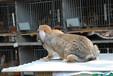 南京肉兔信譽保證,菜兔