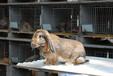 婁底養兔回收肉兔繁殖率高