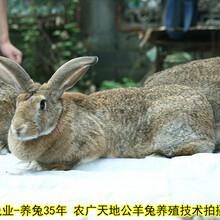 鄭州養兔送大棚送籠具送飼料是真的嗎肉兔農廣天地拍攝種兔場,種兔圖片