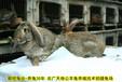 渭南法國公羊兔鵬程兔業公羊兔孫師傅35年種兔培育,法國公羊兔